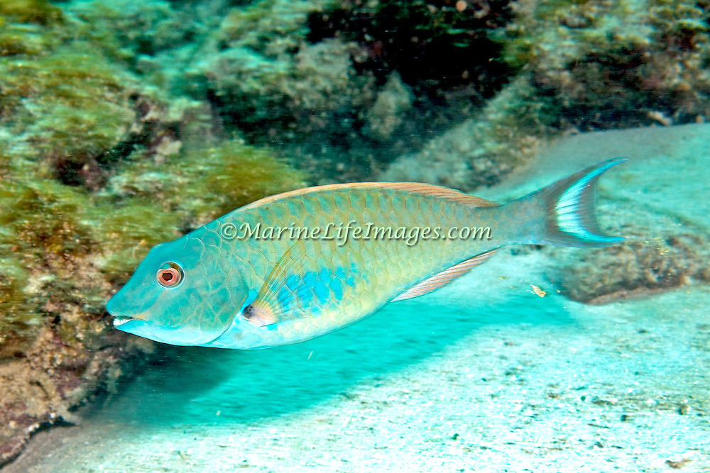 Redtail Parrotfish commonly in shallow areas of coral rubble and seagrass, occasionally on reefs, scrape filamentous algae from hard substrates in Tropical West Atlantic; picture taken Key Largo, FL.