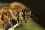 Close up of a western honey bee (Apis mellifera), western Oregon.