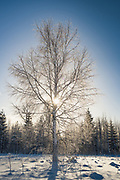 Sun shines through birch tree (Betula sp.) covered in icy snow on sunny winter morning, Vidzeme, Latvia Ⓒ Davis Ulands | davisulands.com