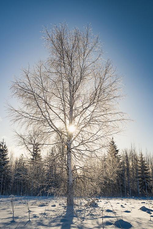 Sun shines through birch tree (Betula sp.) covered in icy snow on sunny winter morning, Vidzeme, Latvia Ⓒ Davis Ulands   davisulands.com