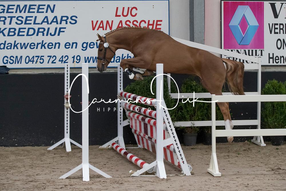 03 - Socrates Optimus<br /> BrP Keuring <br /> Hulsterlo - Meerdonk 2017<br /> © Dirk Caremans<br /> 17/03/17