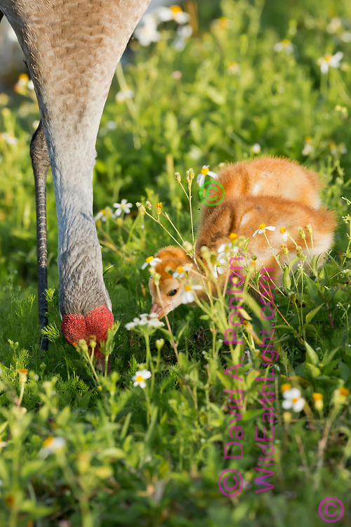 Sandhill crane chick watches closely as adult forages, wetland meadow, Florida, © David A. Ponton