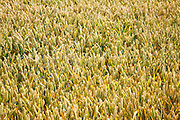 Wheat crop ready to be harvested, Suffolk, England, UK
