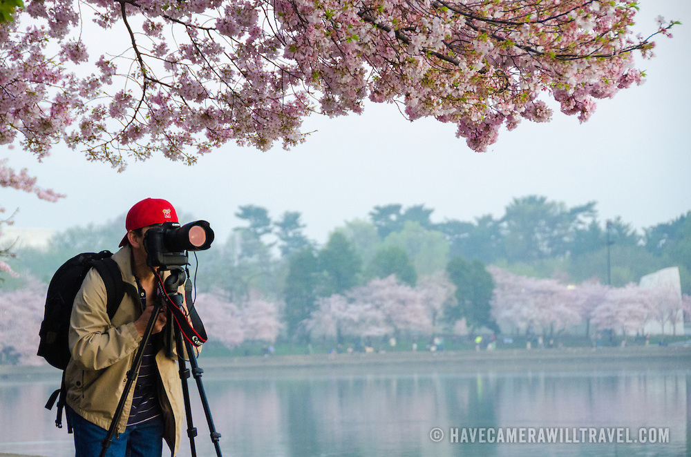 A photographer lines up his shot of Washington DC's cherry blossoms in bloom.