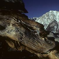 Weathered whitebark pine trunk on Mt. Williamson, John Muir Wilderness.