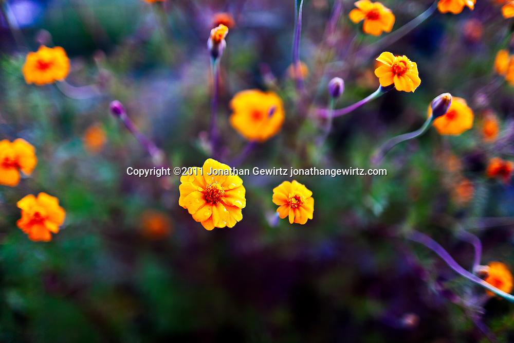 A burst of orange marigold or zinnia flowers in a garden. WATERMARKS WILL NOT APPEAR ON PRINTS OR LICENSED IMAGES.