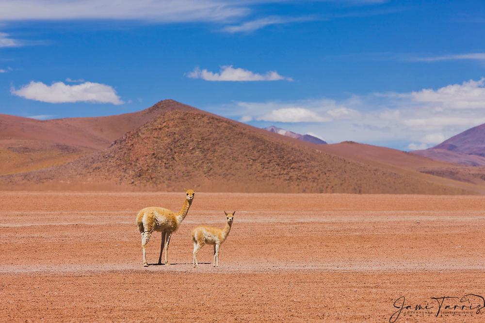 A female vicuna (Vicugna vicugna) and her young cria on the Altiplano in the Sud Lipez, Bolivia,South America