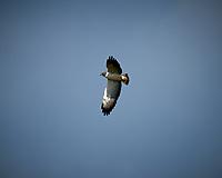 White-tailed Hawk (Geranoaetus albicaudatus). Campos Viejos, Texas. Image taken with a Nikon D4 camera and 600 mm f/4 VR lens