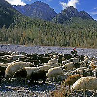 MONGOLIA, Darhad Valley. Migrating family moves sheep across Horidol Saridag Mts. en route to Lake Hovsgol for winter.