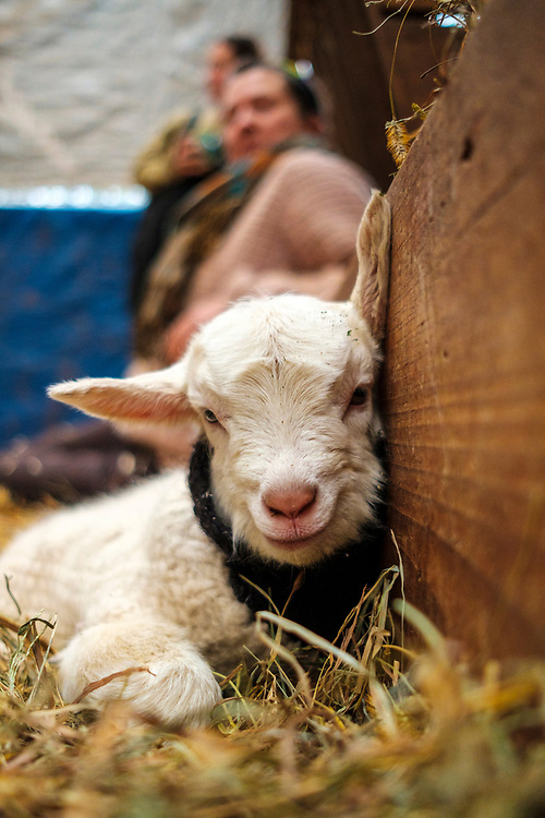 Caromont Farm, Goat snuggling is in full swing. Photo by Justin Ide