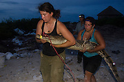 American Crocodile Research (Crocodylus acutus)<br /> Releasing animal<br /> San Perdo <br /> Ambergris Caye<br /> Belize,<br /> Central America