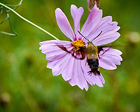 Hummingbird Clearwing moth on a Cosmos flower. Image taken with a Nikon 1 V3 camera and 70-300 VR lens.