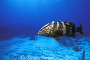 Nassau grouper, Epinephelus striatus, Endangered Species, Lighthouse Reef Atoll, Belize, Central America ( Caribbean Sea )