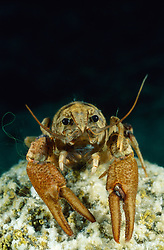 Austropotamobius pallipes, Dohlenkrebs, White-clawed crayfish