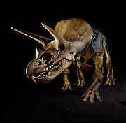 """Triceratops,  which means """"three-horned face,"""" was common in the latest part of the Cretaceous in western North America.  It was a plant eater and grew to 30 ft (9 meters) and weighed up to 6 US tons (5.4 metric tons)."""
