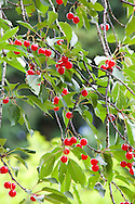 The cherry tree fruiting towards the back of the garden