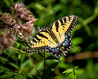 Tiger Swallowtail Butterfly Feeding on Joe Pye Weed. Image taken with a Fuji X-T1 camera and 100-400 mm OIS lens.