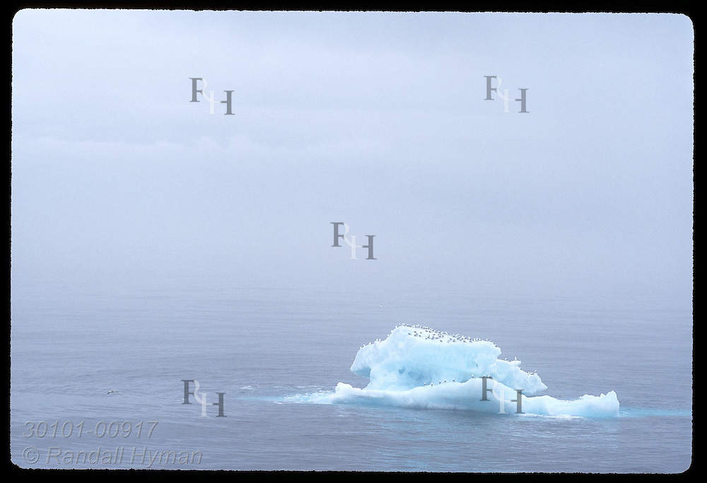 Fulmars crowd atop an ice floe on a foggy July afternoon some 100 miles off the West Fjords; Iceland