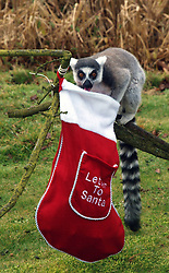 Dec. 18, 2012 - London, United Kingdom - A lemur looks over a Christmas stocking at Whipsnade Zoo, North of London, UK. (Credit Image: © Max  Nash/i-Images via ZUMA Press)