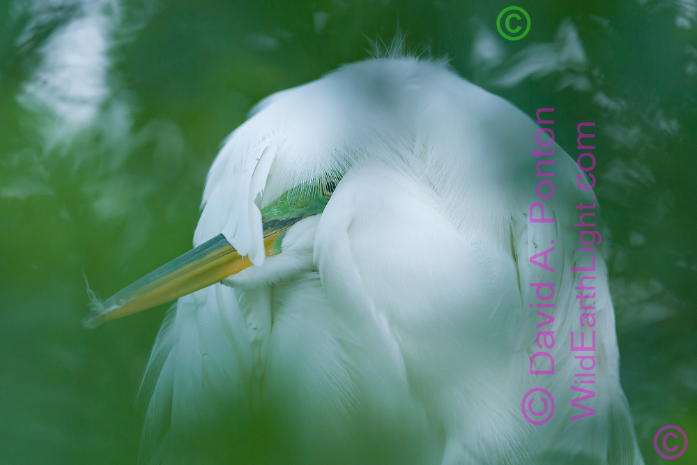 Great egret resting, somehow retracting its neck and head under feathers, adult in breeding plumage. Image is softened by photographing through foliage, Florida, © David A. Ponton