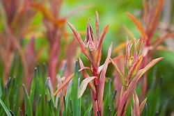 New shoots of Euphorbia griffithii 'Dixter' AGM amongst emerging foliage of Triteleia peduncularis