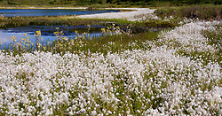 Alaska cotton grass grows along the banks of a kettle pond near Wonder Lake in Denali National Park and Preserve.