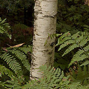 Birch tree in a New Hampshire forest surrounded by ferns, in summer