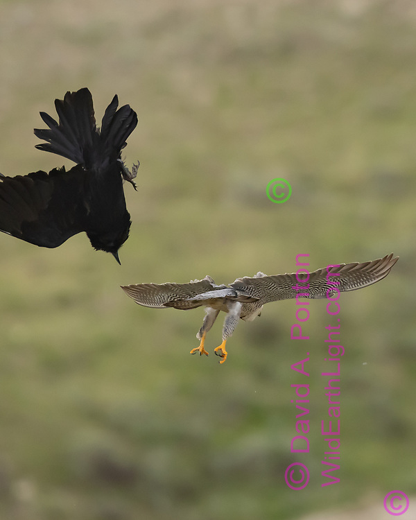 Peregrine falcon passes by raven it is  harassing as the raven begins to recover, © David A. Ponton
