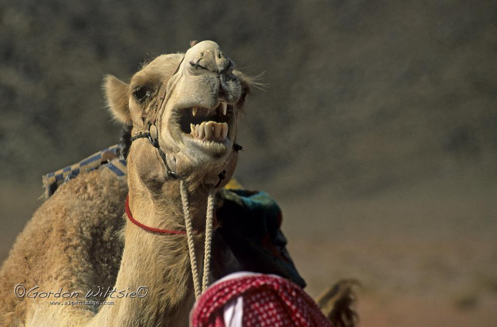 JORDAN. Arabian camel (dromedary) [Camelus dromedarius], used for carrying tourists in the  Wadi Rum region.