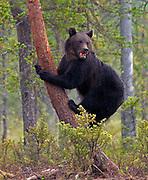Brow bear (Ursus arctos) feeding on salmon at a lake in eastern Finland.