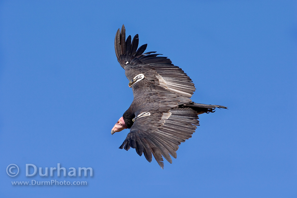 A California Condor (Gymnogyps californianus) in the sky above the Big Sur coast, California. Note the radio transmitter on the foreground wing, and a GPS transmitter with a solar charger on the other wing.