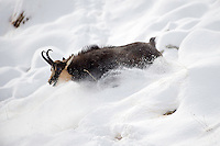 30.10.2008.Chamois (Rupicapra rupicapra) is running on snow..Gran Paradiso National Park, Italy