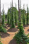 Hops in the herbal garden. The farm at Rashult where Linnaeus was born. Smaland region. Sweden, Europe.