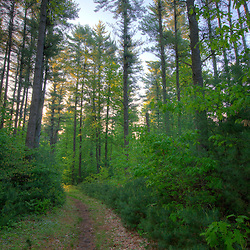 A trail through a forest of white pines at Windrush Farm in North Andover and Boxford, Massachusetts.