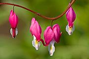 Bleeding Heart (Dicentra spectabilis) flowers blooming