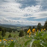 Arrowleaf balsamroot flowers bloom on a hillside in Montana's Bridger Mountains, near Bozeman.