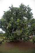 Breadfruit tree, Moorea, French Polynesia