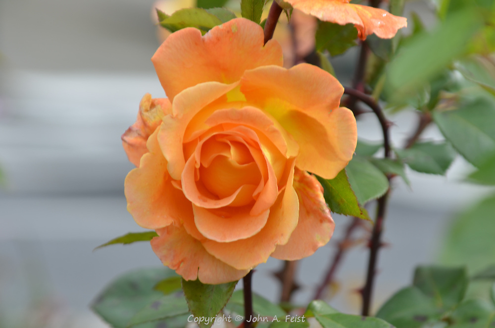 One of many beautiful yellow roses in the garden outside the Belleek factory in County Mayo, Northern Ireland.