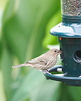 House Finch. Image taken with a Nikon D850 camera and 400 mm f/2.8 lens