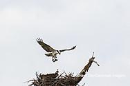 00783-01804 Osprey (Pandion haliaetus) in flight to nest with food Cruickshank Sanctuary - Brevard County, FL