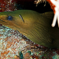 Green Moray Eel, Gymnothorax funebris, on the reef, Ranzani, 1840, Grand Cayman