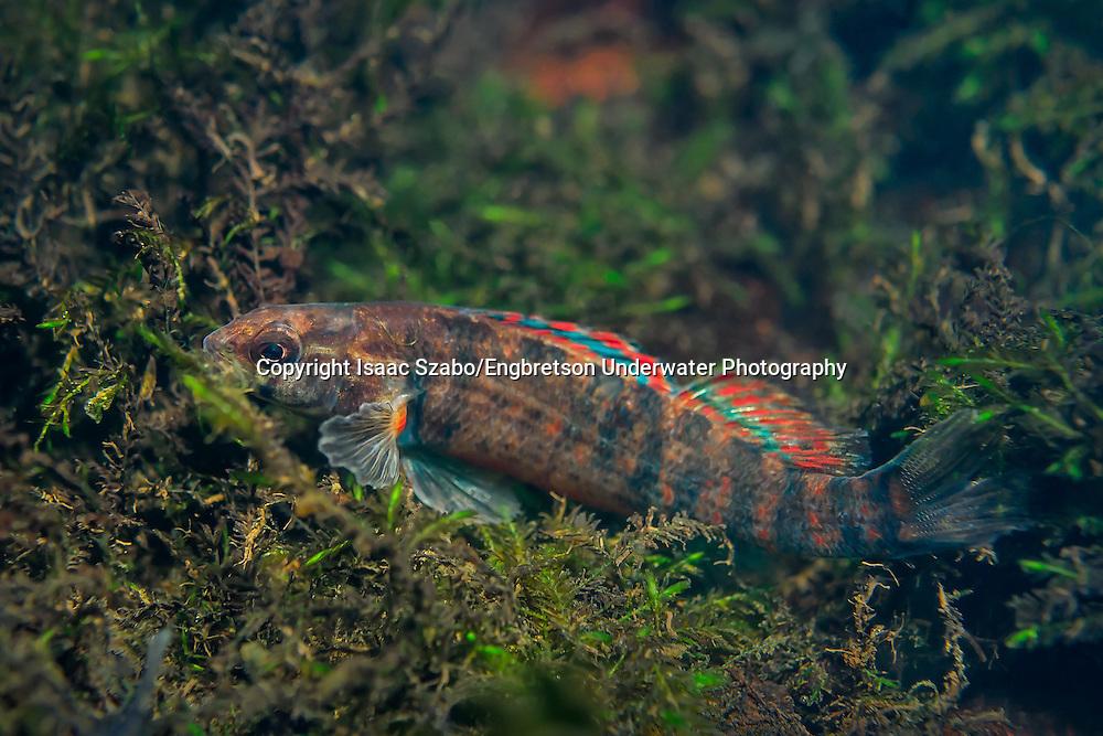 Gulf Darter<br /> <br /> Isaac Szabo/Engbretson Underwater Photography