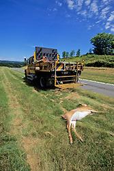 Dead Deer Hit By Vehicle & D P W Truck