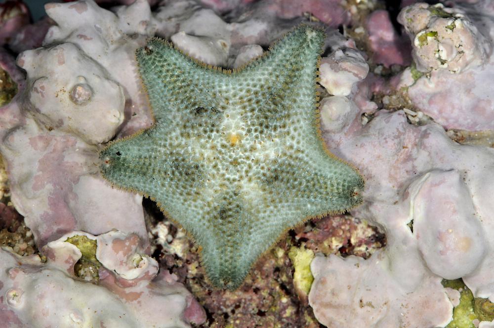 Cushion Star - Asterina gibbosa