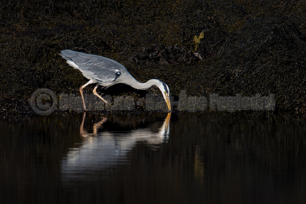 Grey Heron looking for food   Gråhegre leter etter mat.