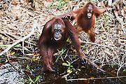 A mother and juvenile orangutan (Pongo pygmaeus) approaching a river bank carefully to get a drink, Borneo, Indonesia