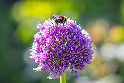Bee on Allium 'Lucy Ball'