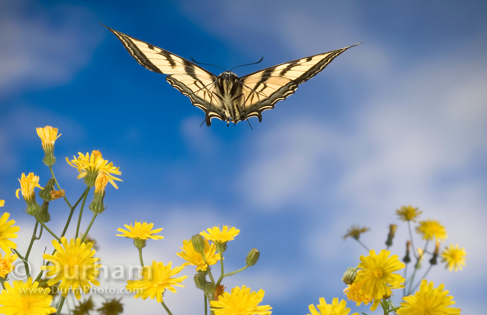 A western tiger swallowtail butterfly (Papilio rutulus) flying over smooth hawksbeard flowers. Photographed with a high-speed camera in the coast range of Oregon.