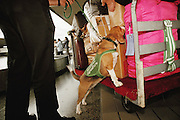 US department of agriculture Mike Smith with beagle, Cagney, sniffs luggage from arrivals from Asia for fruit, vegetables and meat. Honolulu, Oahu, Hawaii. USA.