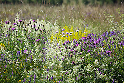 The meadow at Magdalen Hill Down Butterfly Nature Reserve with Greater Knapweed, Field Scabious, Hedge and Lady's Bedstraw and Tufted Vetch. Centaurea scabiosa, Knautia arvensis, Galium mollugo, Galium verum, Vicia cracca